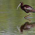 Ibis Reflection by Bryan Keil