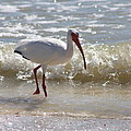 Ibis Walking The Beach by Christiane Schulze Art And Photography