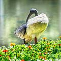 Ibis  by Yew Kwang