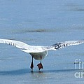 A Gull Performing Ice Ballet by Angela Koehler