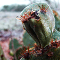 Ice Cactus by Stephen Paul West