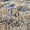 Ice Coated Bullrushes by Louise Heusinkveld