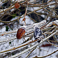Ice Incased Leaves by Tracy Winter