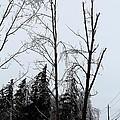Ice Storm Poplars by J McCombie