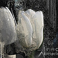 Ice Tulip  by Airton Sobreira