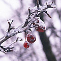 Iced Berries by Tracy Winter