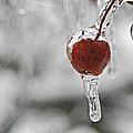 Iced Berry by Trish Tritz