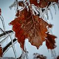 Iced Leaves by Michael Brooks