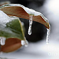 Iced Magnolia by Terri Winkler