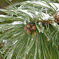 Iced Over Pine Cones by Tracy Winter
