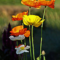Iceland Poppies In The Sun by Gill Billington