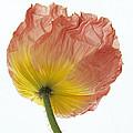 Iceland Poppy 1 by Susan Rovira