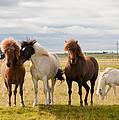 Icelandic Horses by Jackie Follett