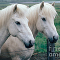 Icelandic Horses by Kenneth W Fink
