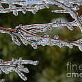 Icy Branch-7482 by Gary Gingrich Galleries