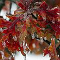 Icy Oak by Debby Richards