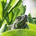 Iguana by Adrienne Franklin
