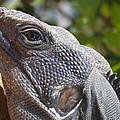 Iguana Closeup by Shane Bechler