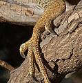 Iguana Foot by John Mitchell