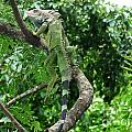 Iguana In A Tree by DejaVu Designs