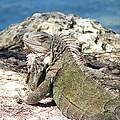 Iguana In The Sun by Leara Nicole Morris-Clark