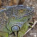 Iguana by Olga Hamilton