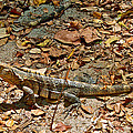Iguana On A Trail In Manuel Antonio National Preserve-costa Rica by Ruth Hager