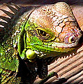 Iguana On The Deck At Mammacitas by Duane McCullough
