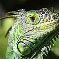 Iguana Smile by Camilla Fuchs