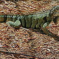 Iguana With A Smile by Deborah Benoit