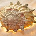 Illumination Series Sea Shells 20 by Sherry Allen