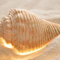 Illumination Series Sea Shells 8 by Sherry Allen