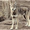 Illusion Of A Wolf by Athena Mckinzie