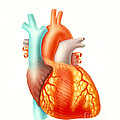Illustration Of The Human Heart by Carlyn Iverson