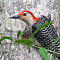 I'm So Handsome - Red Bellied Woodpecker by Kathy Baccari