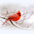 Img_2559-8 - Northern Cardinal by Travis Truelove