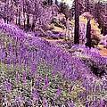 Img 4892_ Purple Lupine_ Yosemite National Park  by Randy Matthews