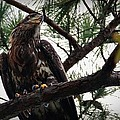 Immature American Bald Eagle by Linda Unger