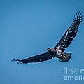 Immature Bald Eagle In Flight by Ronald Grogan