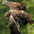 Immature Bald Eagle by Inspired Nature Photography Fine Art Photography