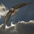 Immature Bald Eagle by Jack R Perry