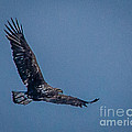 Immature Bald Eagle by Ronald Grogan