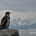Immature Eagle And Alaskan Mountain by David Arment