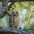 Immature Great Horned Owl by Jane Luxton