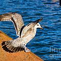 Immature Herring Gull At The Harbour by Susie Peek