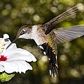 Immature Ruby-throated Hummingbird by C Thorton