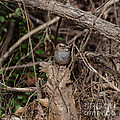 Immature White-throated Sparrow by Donna Brown
