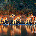 Impala Herd With Reflections In Water by Johan Swanepoel