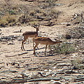 Impala Near Red River by Karen j Kobrin Cohen
