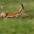 Impala  Running And Leaping by Pete Oxford